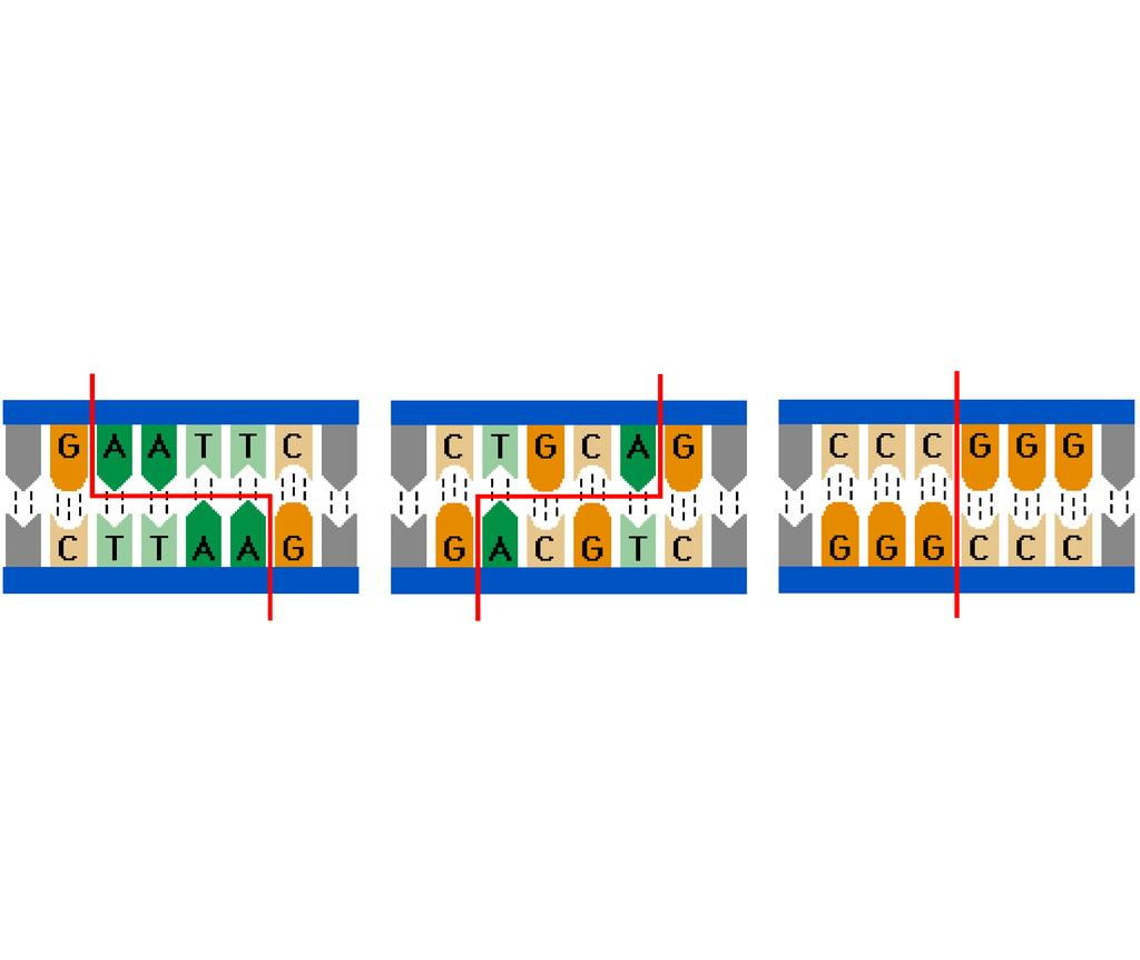 Animation: Restriction Enzymes