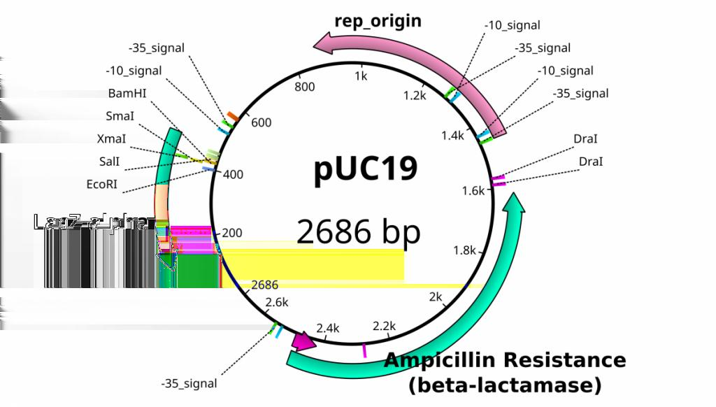 Another plasmid of interest in learning Molecular Biology is called pglo. This plasmid has a jellyfish gene in the MCS that codes for a protein that will fluoresce green when expressed under UV light.