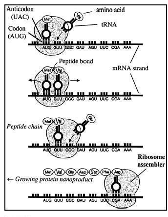 The translation process takes place as follows: The trna with its attached amino acid pairs to the codon of the mrna attached to a ribosome.