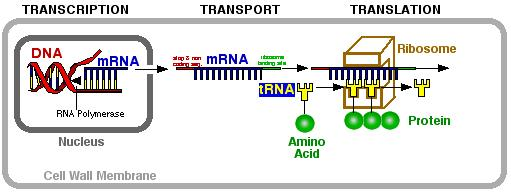 3 types RNA 1. mrna (DNA copy) messenger 2.