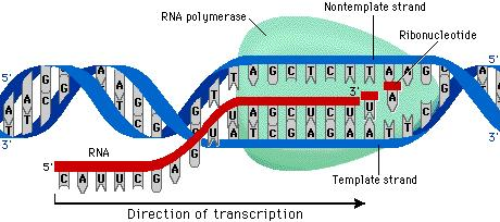 Transcription RNA Polymerase binds and unwinds DNA RNA Polymerase moves along