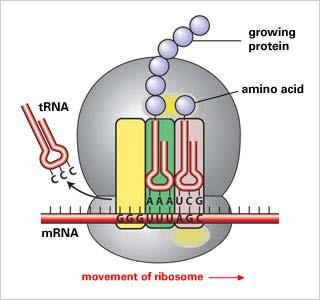 mrna used as a template by Ribosome Ribosome pairs mrna codon (3 bases) with a trna