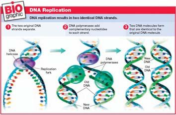 Compare the number of replication forks in prokaryotic and eukaryotic cells during DNA replication.