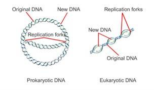 How DNA Replication Occurs, continued Replication Forks Increase the Speed of Replication Each new DNA molecule is made of one strand of nucleotides from the original DNA molecule and one new strand.