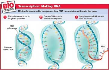 Transcription Genetic Code The nearly universal genetic code identifies the specific amino acids