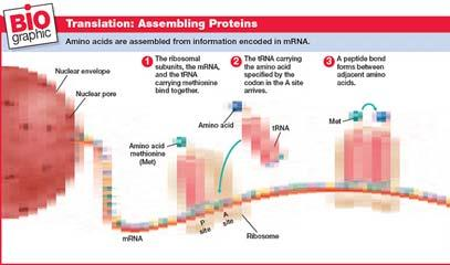 As the mrna codons move through the ribosome, trnas add specific amino acids to the growing