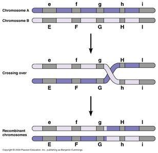 Genetic recombination! Genetic recombination is the rearrangement of genes to form new combinations.