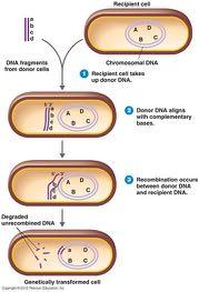Homologous Recombination Recombination can occur between homologous (similar) DNA sequences:!