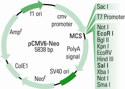 Physical Map of pcmv6-neo pcmv-neo (5838 nucleotides) Feature Function Location CMV Promoter protein expression promoter bases 201-926 T7 promoter in vitro transcription promoter bases 953-971