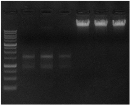 5 x 10 6 HeLa cells 3-4 = RNA from 1.5 x 10 6 HeLa cells M = 1 Kb DNA Ladder Sample µg/ml 260/280 260/230 Yield 1. DNA 42.7 1.88 2.19 8.54 µg 2. DNA 46.7 1.88 2.18 9.34 µg 3. RNA 417.5 2.09 2.03 20.