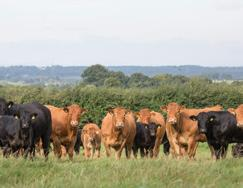 Opportunities for Producers from GEBVs GEBVs for the Carcase and Female Fertility traits are only available for Limousin-bred cattle.