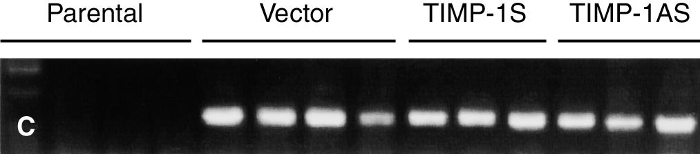 (C ) Integration of neo r in clones of vector/mc, TIMP-1S/MC and TIMP-1AS/MC, while there is no integration of neo r in parental cells, as examined by PCR.