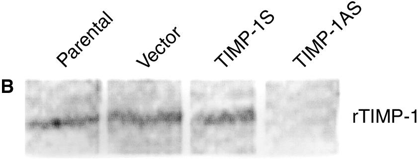 TIMP-1AS/MC showed typical DNA ladder 24 hours after serum starvation, parental cells and Vector/MC showed DNA ladder 60 hours after serum withdrawal, while TIMP-1S/MC still showed genomic DNA (Fig.