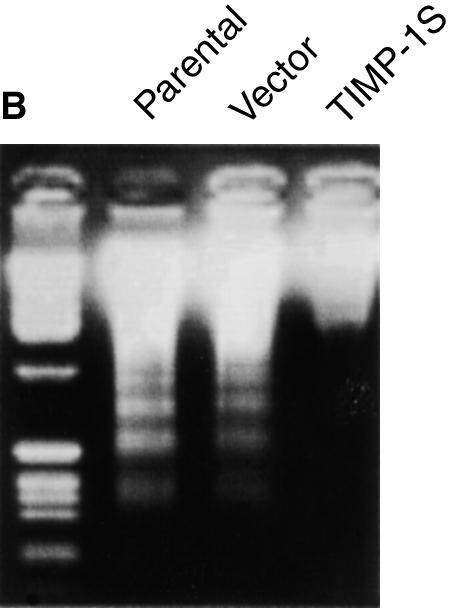 All the cells were treated with TIMP-1 neutralizing antibody before the induction of apoptosis by serum deprivation. *P 0.05 compared with the parental cell group and vector/mc group. **P 0.