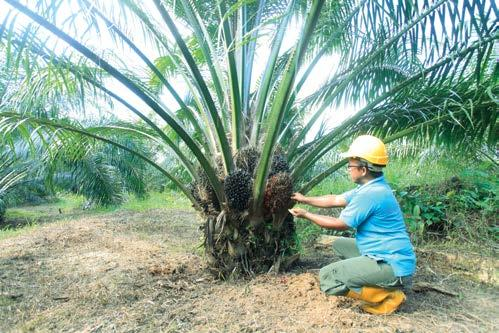 Project RILEAF In line with Nestlé s commitment to preserving forests, Project RILEAF was launched in 2011 to restore 2,400 hectares along the lower Kinabatangan River.