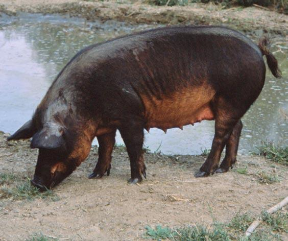 When the rescue programme of the Mora Romagnola pig started in 1997, there were only 13 animals.