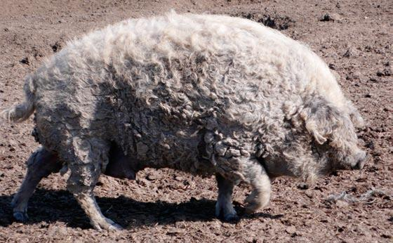 Quality products from Mangalitsa pigs in Hungary Hungary is one of the leading countries when it comes to preserving traditional breeds.
