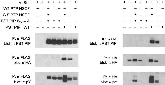 A Novel Polyproline Binding Motif 993 FIG. 4.In vivo analysis of W232A mutant PST PIP interactions with wild-type and dominant negative (substrate trapping) forms of PTP HSCF.