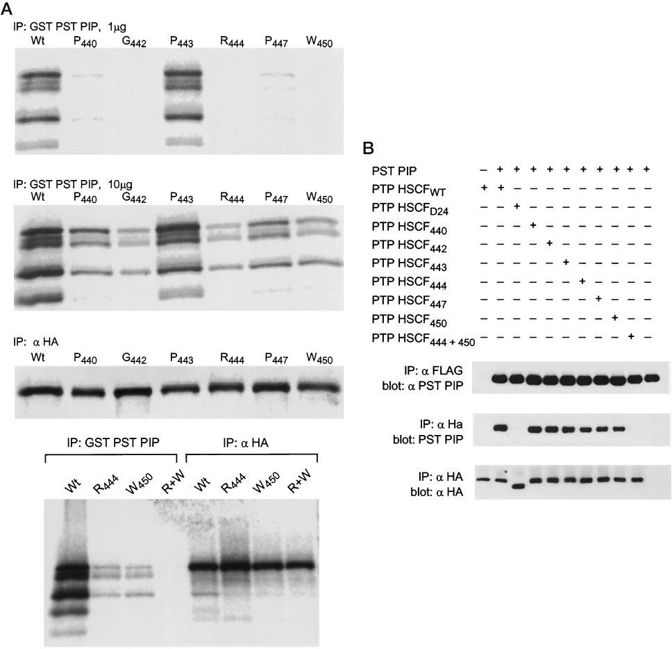 994 A Novel Polyproline Binding Motif FIG. 6.In vitro and in vivo analysis of mutations of the COOH terminus of PTP HSCF.