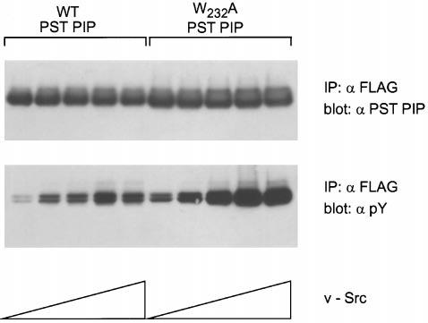 A Novel Polyproline Binding Motif 995 FIG. 7.W232A PST PIP is tyrosine phosphorylated more efficiently in the presence of v-src.