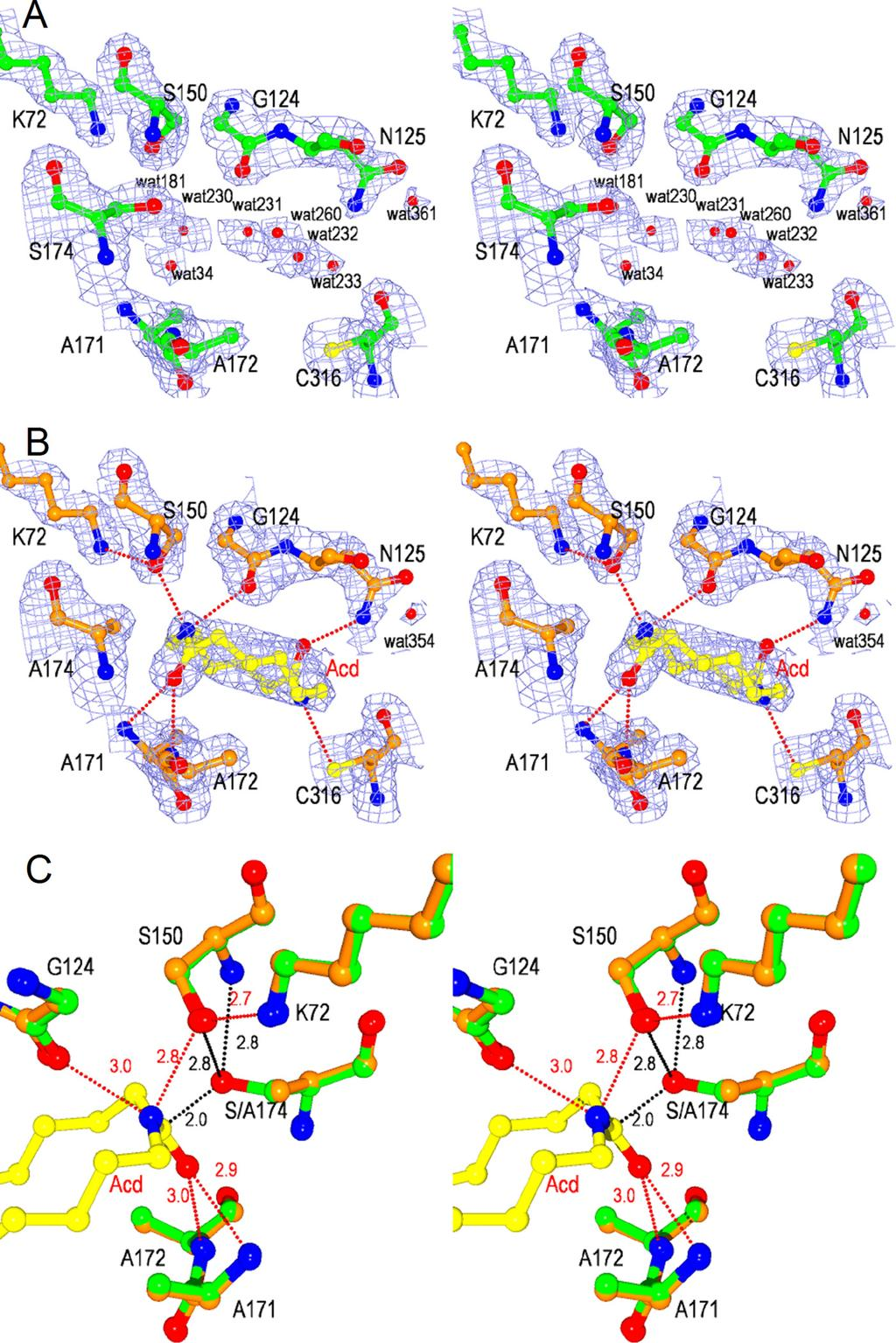 FIGURE 3. Stereoviews of catalytic cleft of NylA and NylA-A 174 Acd complex. A and B, 2Fo Fc electron density maps of NylA (green) (A) and the NylA-A 174 Acd complex (orange) (B) contoured at 1.0.