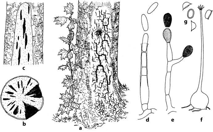 8.1 Fungal Damage To Living Trees 167 Pathogen If Both Belong To The Same  Vegetative Compatibility