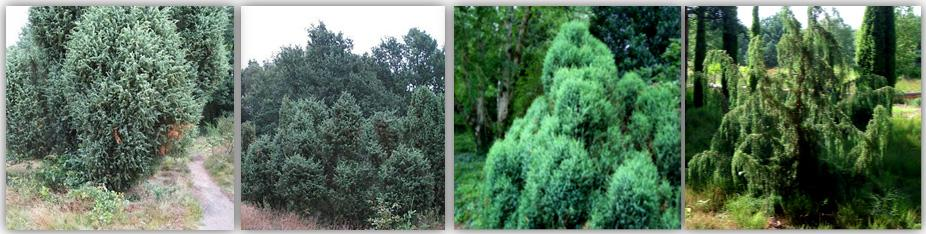 246 Metabolomics 4.2 Plants that have an ethno-botanical history that is associated with the specific practices or applications of interest 4.2.1 Case study: Juniperus species Juniperus plants