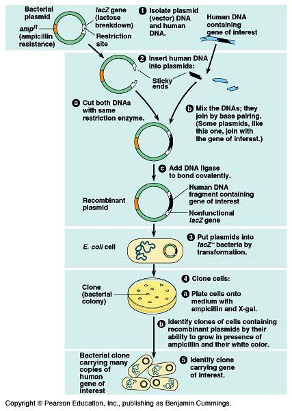 "Cloning a Human Gene! Use both ampicillin resistance & color "" if DNA is correctly inserted within lacz gene then colonies will be white! intact lacz gene produces funtional enzyme: lactose! blue!"