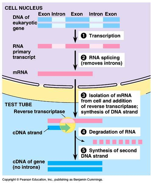 "cdna libraries! Collection of only the coding sequences of expressed genes "" extract mrna from cells "" reverse transcriptase! RNA! DNA! from retroviruses "" clone into plasmid!"