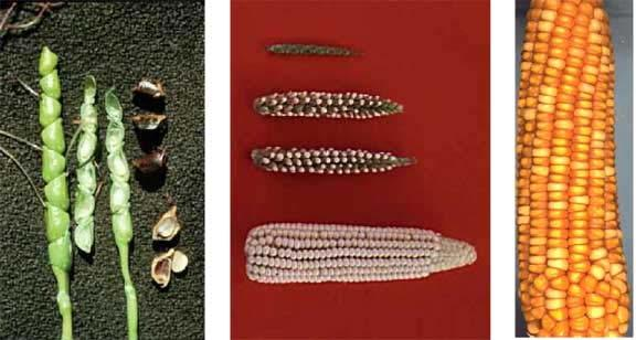 Evolution & breeding of food plants Evolution in morphology of Zea mays from ancestral teosinte