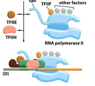 Transcription (Important Players) Promoter DNA site that promotes RNA polymerase to bind RNA Polymerase Enzyme that completes process of